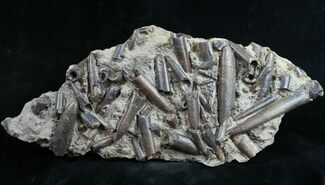 Buy Belemnite Graveyard With Over 30 Belemnites - #9460