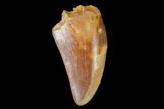 "Bargain, 1.34"" Juvenile Carcharodontosaurus Tooth - Morocco For Sale, #134993"