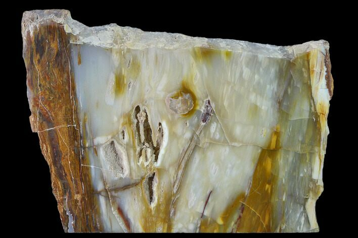 "6.2"" Petrified Wood (Araucioxylon) Slab - Circle Cliffs, Utah"