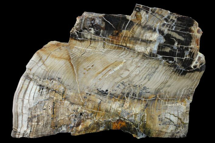 "5.3"" Petrified Wood (Araucioxylon) Slab - Circle Cliffs, Utah"