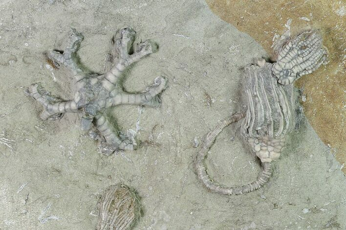 Five Species of Crinoids on One Plate - Crawfordsville, Indiana