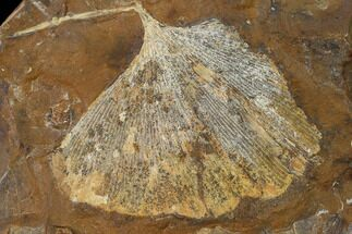 "2.7"" Fossil Ginkgo Leaf From North Dakota - Paleocene For Sale, #136082"