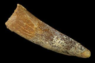 "1.81"" Spinosaurus Tooth - Real Dinosaur Tooth For Sale, #136247"