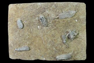 Seven Species of Crinoids on One Plate - Crawfordsville, Indiana For Sale, #135632