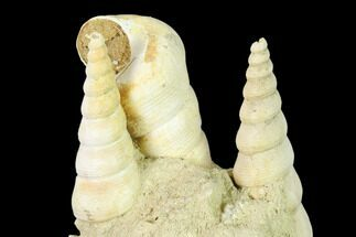 "3.5"" Fossil Gastropod (Haustator) Cluster - Damery, France For Sale, #136013"
