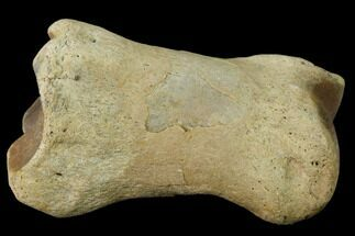 "3"" Fossil Rhino (Teleoceras) Metatarsal - Kansas For Sale, #136433"
