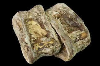 Xiphactinus audax - Fossils For Sale - #136497