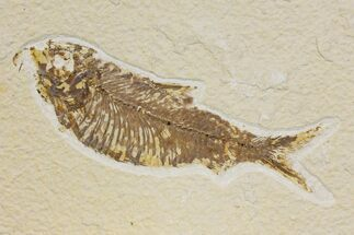 "Bargain, 4.4"" Fossil Fish (Knightia) - Wyoming For Sale, #136799"