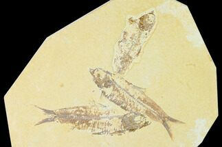 Trio of Fossil Fish (Knightia) - Green River Formation - Wyoming For Sale, #136865