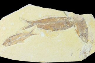 Buy Trio of Fossil Fish (Knightia) - Green River Formation - Wyoming - #136861