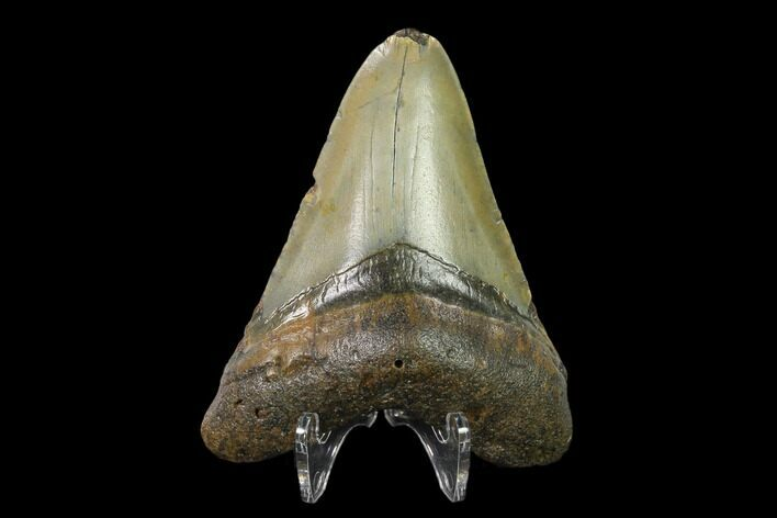 "3.09"" Fossil Megalodon Tooth - North Carolina"