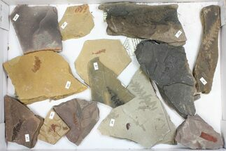 Wholesale Flat - Assorted Plant Fossils From Manning Shale - 13 Pieces For Sale, #134399