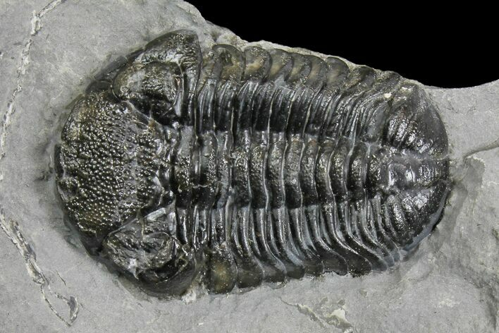 "Bargain, 1.3"" Eldredgeops (Phacops) Trilobite - New York"