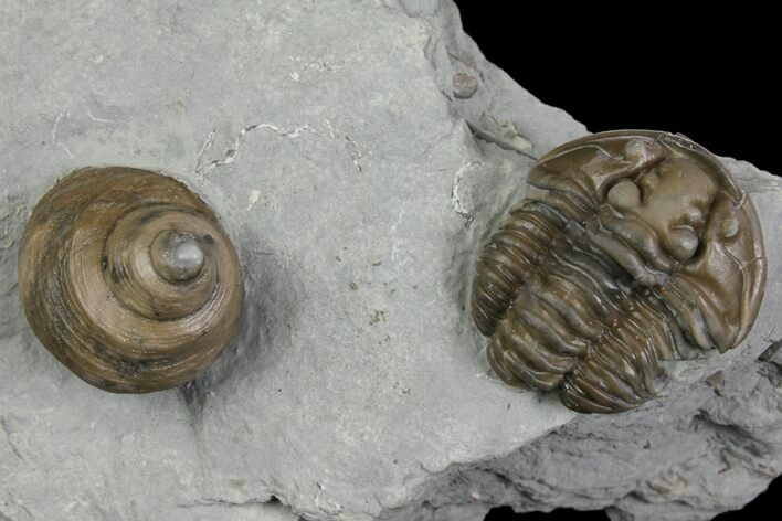 Flexicalymene Trilobite Fossil and Gastropod - Ohio