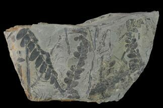 "4.7"" Pennsylvanian Fossil Fern (Neuropteris) Plate - Kentucky For Sale, #137726"