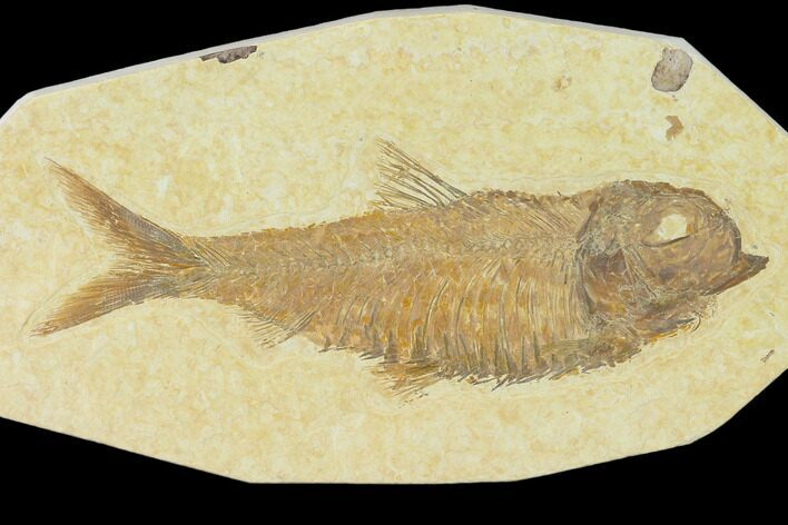 "4.25"" Detailed Fossil Fish (Knightia) - Wyoming"
