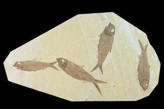 "Buy 12.6"" Plate With Four Knightia Fossil Fish - Wyoming - #137983"