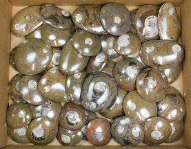 "Wholesale Lot - 2.5 to 3"" Polished Goniatite Fossils - 50 Pieces For Sale, #138059"