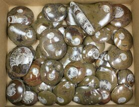 "Buy Wholesale Lot - 2.5 to 3"" Polished Goniatite Fossils - 45 Pieces - #138061"