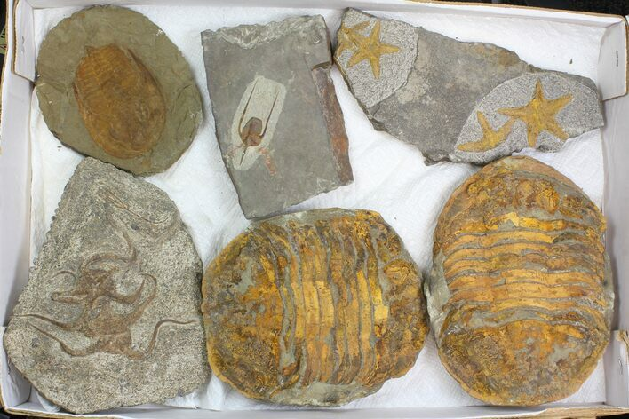 Wholesale Lot: Misc Fossil Trilobites And Brittlestars - 6 Pieces