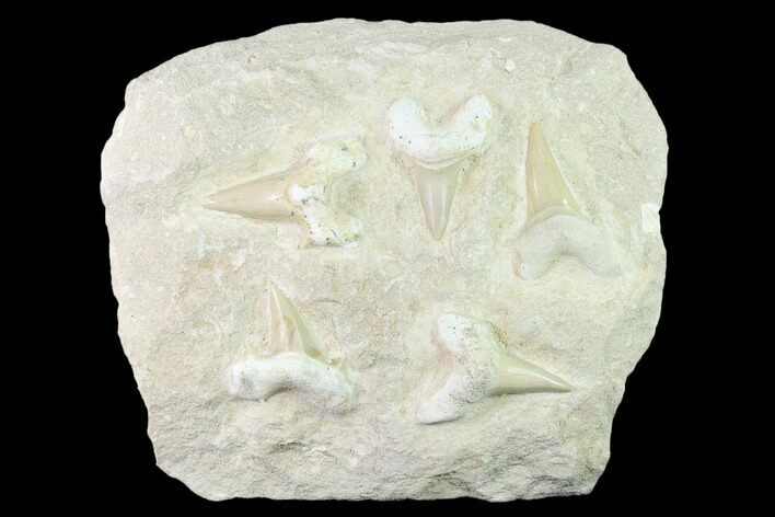 "6.5"" Fossil Mackeral Shark (Otodus) Teeth - Composite Plate"