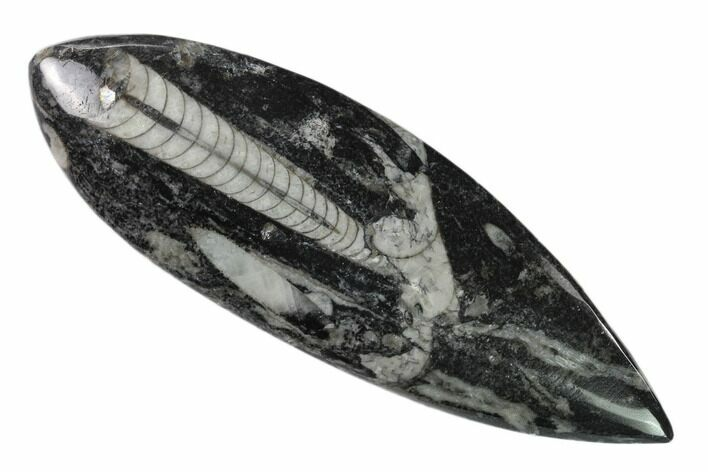 "5"" Polished Fossil Orthoceras (Cephalopod) - Morocco"