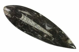 Orthoceras sp. - Fossils For Sale - #138411