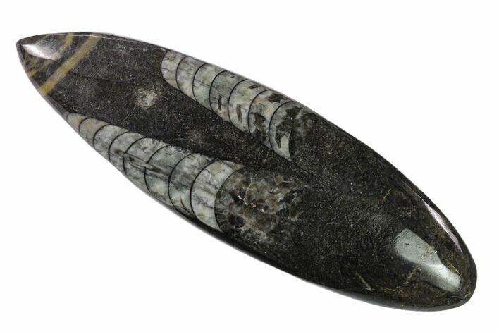"4.6"" Polished Fossil Orthoceras (Cephalopod) - Morocco"