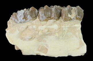 "1.7"" Oreodont (Merycoidodon) Jaw Section - South Dakota For Sale, #136022"
