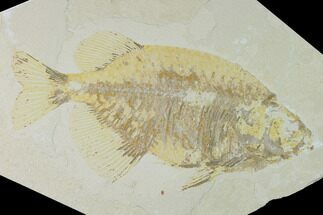 Phareodus  - Fossils For Sale - #138585