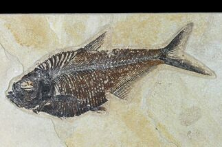 "8.1"" Fossil Fish (Diplomystus) - Green River Formation - 18 Inch Layer For Sale, #138602"