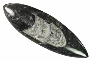 "6.8"" Polished Fossil Orthoceras (Cephalopod) - Morocco For Sale, #138302"