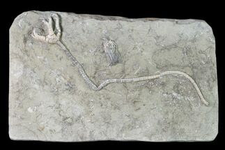 Buy Onychocrinus Crinoid With Long Stem - Crawfordsville, Indiana - #138628