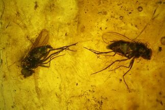 Two Detailed Fossil Flies (Diptera) In Baltic Amber For Sale, #139025