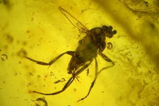 Buy Fossil Fly (Diptera) In Baltic Amber - #139030