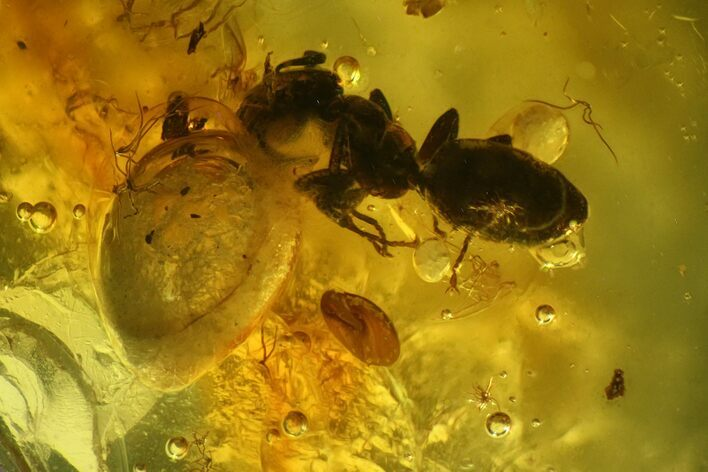 Three Detailed Fossil Ants (Formicidae) In Baltic Amber
