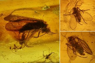 Buy Detailed Fossil Caddisfly and Three Flies in Baltic Amber - #139054