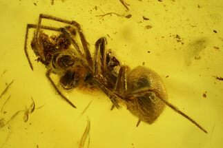 Buy Fossil Spider (Araneae) in Baltic Amber - #139063