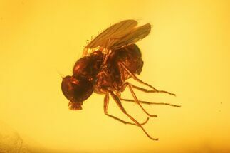Fossil Fly (Diptera) In Baltic Amber For Sale, #139067
