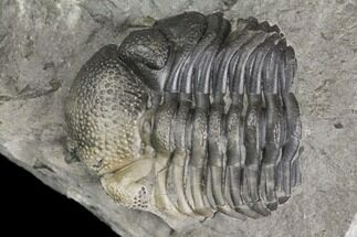 "Bargain, .71"" Eldredgeops Trilobite Fossil - New York For Sale, #138821"