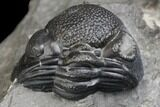 Bargain, Two Partial Eldredgeops Trilobite Fossils - New York - #138827-2