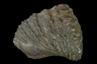 Scaphotrigonia navis - Fossils For Sale - #139392