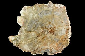 "Buy 12.4"" Polished Petrified Wood (Araucaria) Round - Madagascar  - #139783"
