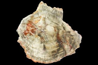 "Buy 10"" Colorful Petrified Wood (Araucaria) Round - Madagascar  - #140044"