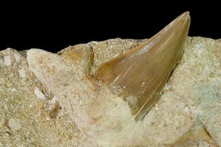 "1.7"" Otodus Shark Tooth Fossil in Rock - Eocene For Sale, #139925"