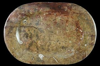 "13.2"" Fossil Orthoceras & Goniatite Oval Plate - Stoneware For Sale, #140237"