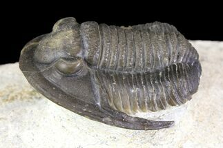 "1.2"" Cornuproetus Trilobite Fossil On Pedestal of Limestone For Sale, #140804"