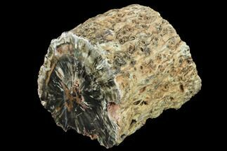 "Buy 7.1"" Triassic Petrified Wood (Woodworthia) Log - Zimbabwe - #141052"