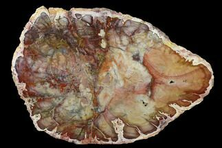 "Rare, 10"" Petrified Seed Fern (Rhexoxylon) Slab - Madagascar For Sale, #141098"