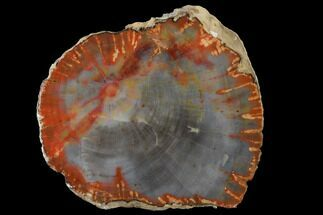 "Buy 3.7"" Polished Petrified Wood (Araucarioxylon) Slab - Arizona - #141274"